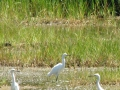 Egrets at Sprague Pond