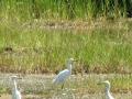 Egrets at Sprague Pond
