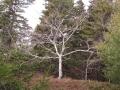 Beech Tree in Winter, Wilbur Preserve 2014